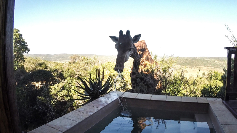 Neck It! Thirsty Giraffe Drinks From Residential Swimming Pool