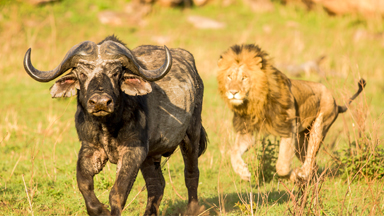 Battle Between Beasts: Lions hunt huge African buffalo