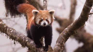 Rare Sighting Of Red Pandas In The Wild
