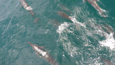 Hundreds of Dolphins Form Rare Superpod