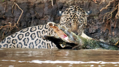 Jaguar vs Caiman: Big Cat Ambushes Reptile in Epic River Battle