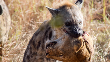 Hyena Spotted Carrying Lion's Severed Head