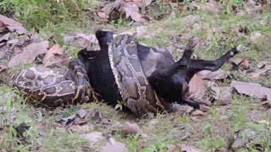 Caught On Camera: 10ft Python Devours Full Size Goat