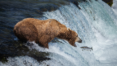 Fish Supper: Grizzly Brown Bear Gets The Catch of the Day in Alaska