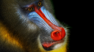 Chasing Mandrills in Gabon: up close and personal with the world's largest monkeys