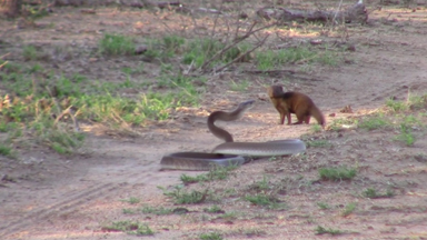 The Incredible Moment a Tiny Dwarf Mongoose Takes on a Venomous Black Mamba Snake