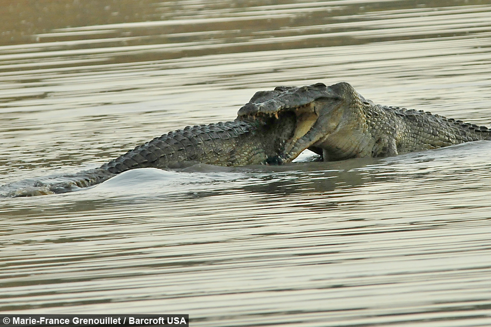 Croc vs. Croc: Dramatic fight between two Nile crocodiles ...
