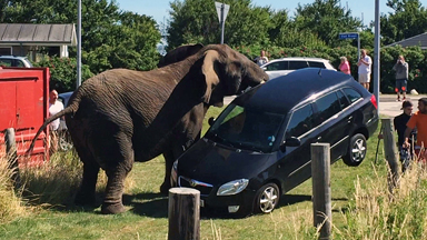 Rampaging Circus Elephant Lifts Car Off The Ground