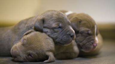 Giant Pit Bull Hulk's Puppies Fight For Survival