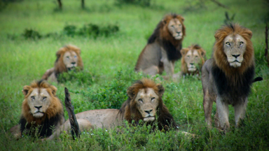 Close Encounters Of The Lion Kind: Photographer Comes Face-To-Face With Kruger National Park's Gomondwane Males