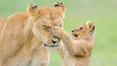 A Roaring Time: Lion Cubs Feline Playful