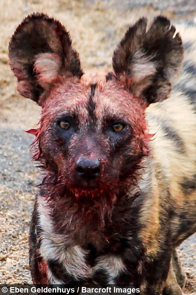 Eaten Alive Wild Dogs Devour Impala