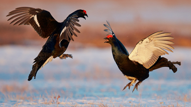 Angry birds: Male grouse do battle in mid-air for the right to mate