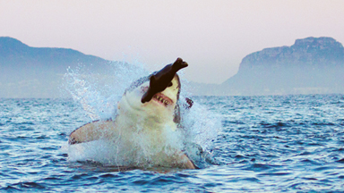 It's A Fake! Great White Shark Catches Dummy Seal Made Of Foam