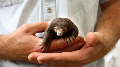 Tiny Echidna Babies Open Their Eyes