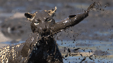 Good Spot: Fishing Leopard Makes Mud Pool Catch