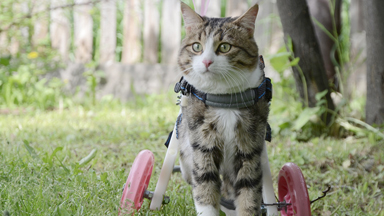 Life On Wheels: Disabled Pet Cat Is Given Mini Wheelchair To Move Around