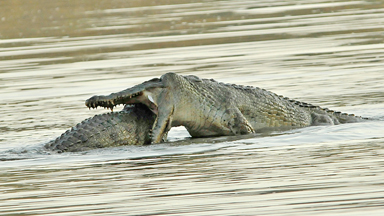 Croc vs. Croc: Dramatic fight between two Nile crocodiles captured on camera
