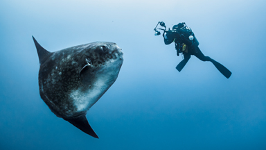 Diver's Close Encounter With A Huge Sunfish