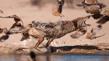 Spitting Feathers: Jackal Leaps To Catch Birds