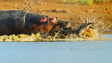 Snatch of the day: Hippo Steals Croc's Kill