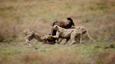 Cheetahs get cheated: Hungry hyena muscles in on three cheetah kill