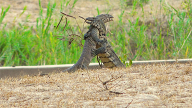 Monitor Lizards Face Off In Vicious Battle