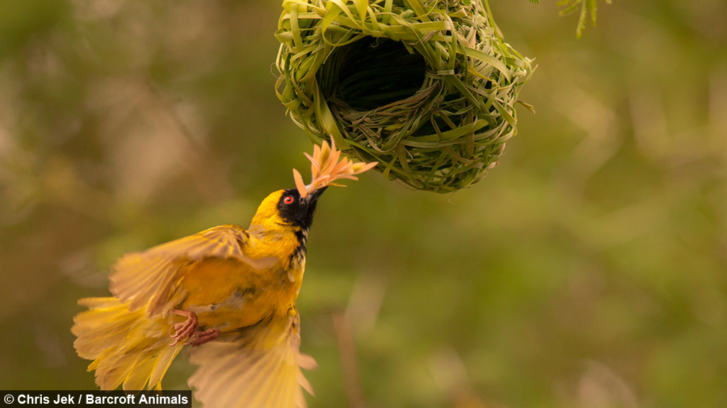 love nest weaver birds create elaborate nests to attract the