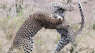 Leopard Cub Playfights With Annoyed Mother In Kruger National Park