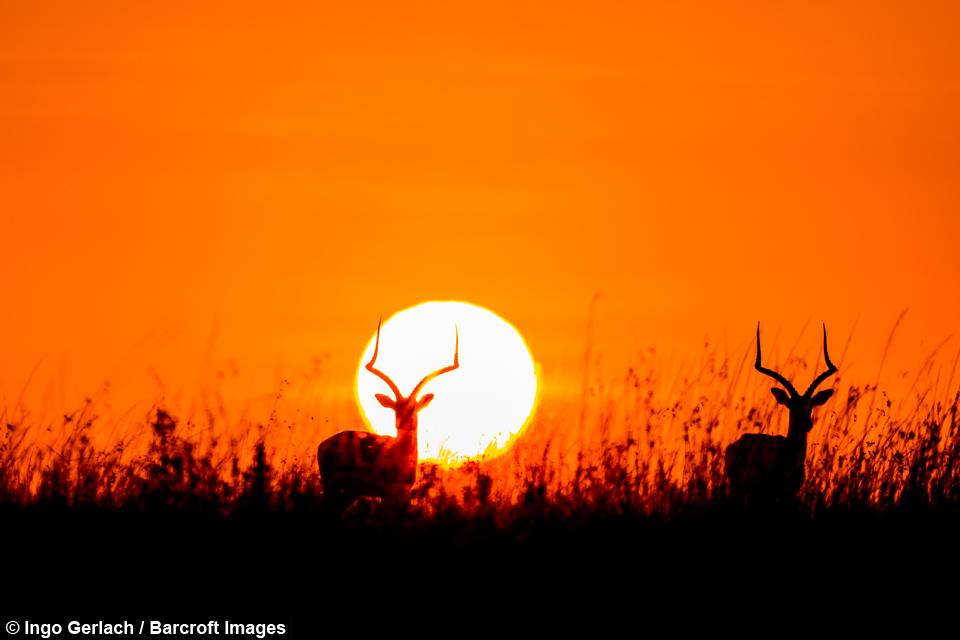 Sunrise silhouettes impalas greet the morning in the savanna pro m4hsunfo