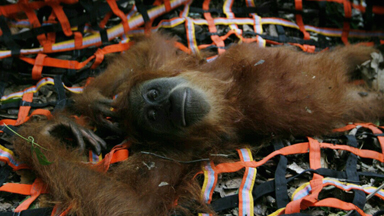 Orangutan mother and son rescued from palm oil plantation