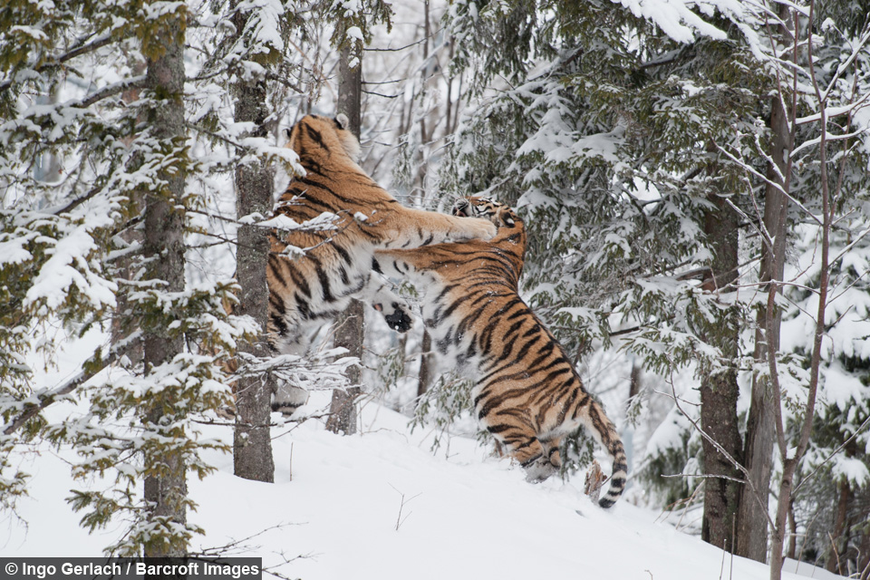 cat fight  siberian tigers trade blows in love spat over mate