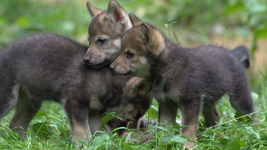 Wildlife Park Celebrates First Wolf Cub Birth in 47 Years