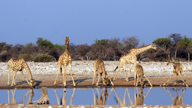 A Tall Drink of Water: Group of Towering Giraffes Show Off Their Bendy Yoga Skills