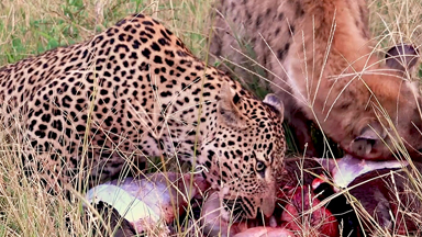 Leopard And Hyena SHARE Their Prey