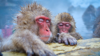 Bath Time! Japanese macaques soak in the hot springs at Jigokudani Wild Monkey Park