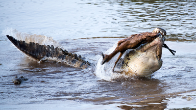 Maasai Magic: Crocodile Destroys Gazelle In Vicious Attack