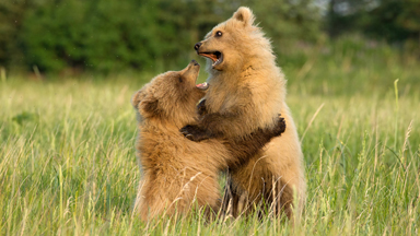 Un-BEAR-ably Cute: Playful Cubs Wrestle In The Grass