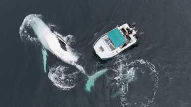 Whale of a time: Father and son use drone to capture incredible encounter with two humpback whales