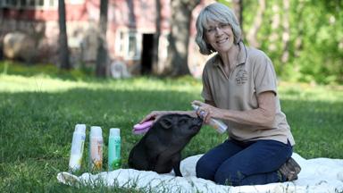 Hogwash: Lucky Pigs Enjoy Spa Treatments