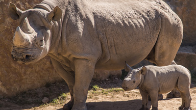 Two Week Old Baby Rhino Is The First To Be Born In Germany This Year