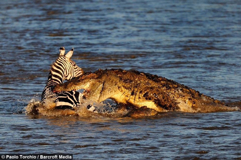 Blood Bath Croc S Devour Prey In Perilous Migration Crossing