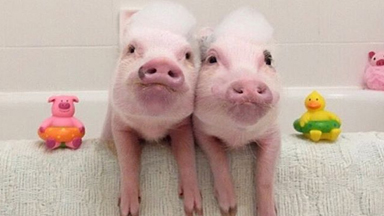 Making It Pig: Pet Piggies Achieve Instagram Fame