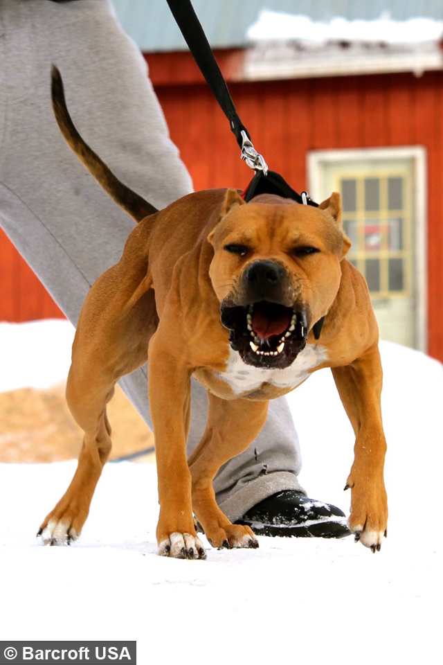 Super Pit Bull Training The Ultimate Protection Dog