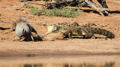 Snap Decision: Hog's Lucky Escape After Crocodile Attack
