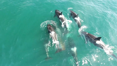 Pod Of Orcas Take Down Minke Whale