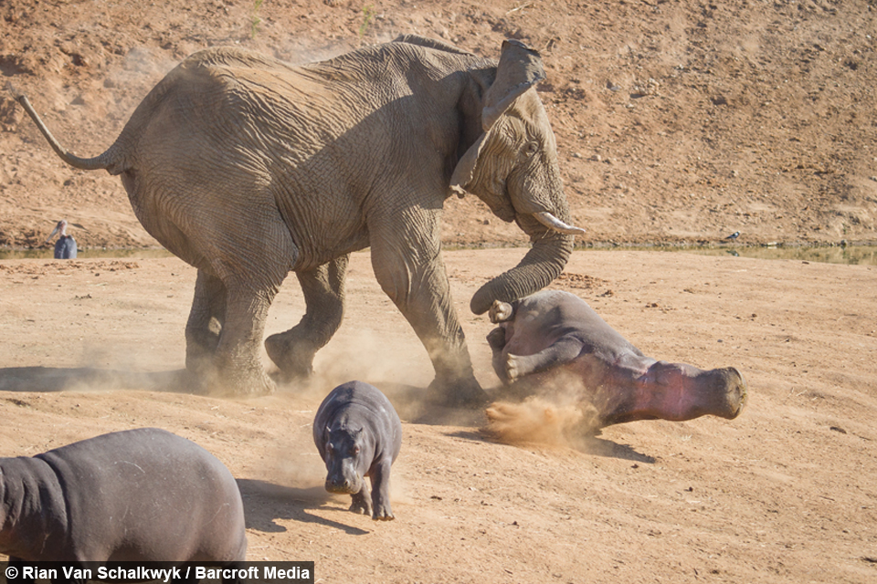 Elephant vs Hippo