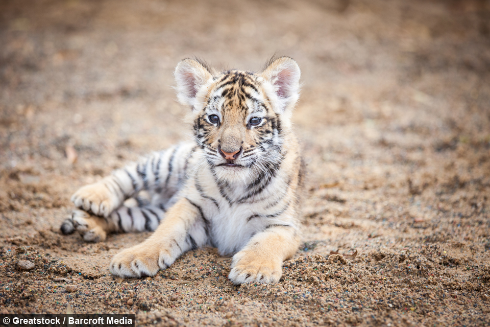 the fight for survival of the white tigers White tigers are so rare that only  survival in the wild: white bengal tigers do not survive long in  shocking moment girl stabs friend in fight as.