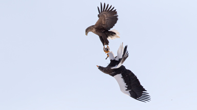 Giant Eagles In Ferocious Aerial Battle