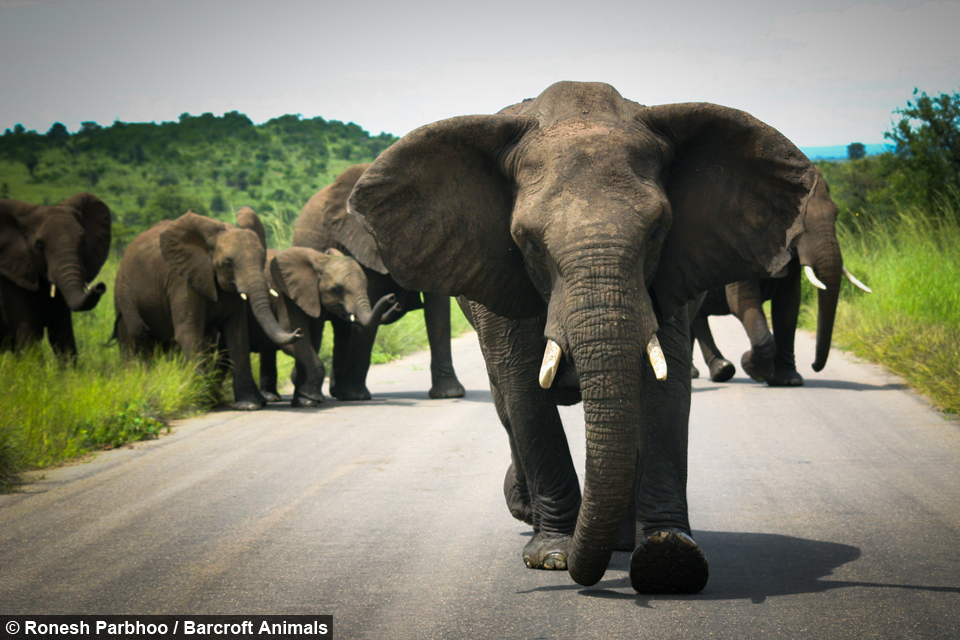 Populaire Tourist Captures The Terrifying Moment Angry Elephant Herd Mock  XI86